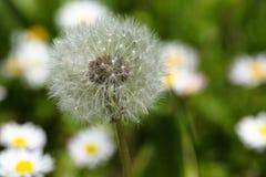Daisy Flower Stockfoto