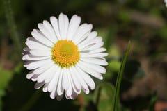 Daisy Flower Stockfotos