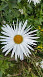 Daisy Flower Royalty-vrije Stock Afbeeldingen
