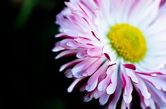 Daisy flower Royalty Free Stock Photos