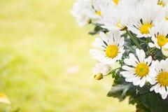 Daisy Flower Stock Afbeeldingen