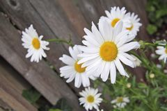 Daisy Flower. S next to fence Royalty Free Stock Image