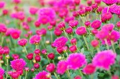 Daisy Flower Immagini Stock
