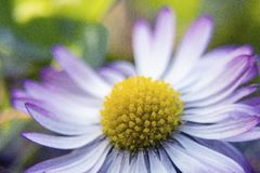 Daisy Flower Images stock