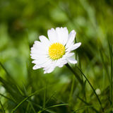 Daisy flower Stock Image