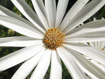 Daisy Flower Imagen de archivo