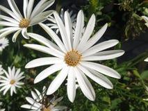 Daisy Flower Stockfotografie