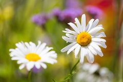 Daisy Flower Lizenzfreie Stockbilder