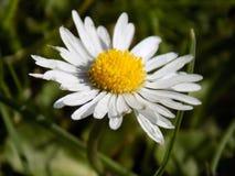 Daisy Flower imagens de stock