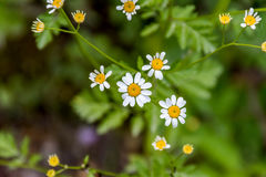 Daisy Flower Fotografia Stock