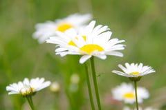 Daisy Flower Arkivfoton