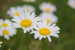 Daisy Flower Arkivfoto