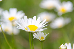 Daisy Flower Arkivbild