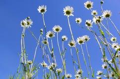 Daisy Flower Photos libres de droits