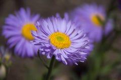 Daisy Flower Stock Foto's