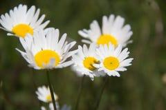 Daisy Flower Royalty-vrije Stock Foto