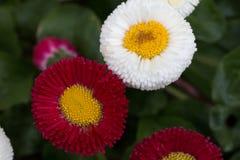 Daisy Flower Fotos de archivo libres de regalías