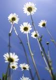Daisy Flower Royaltyfria Foton