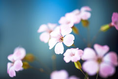 Daisy flower against blue sky,Shallow Dof. Floral background Royalty Free Stock Photography