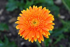Daisy Flower alaranjada brilhante com pingos de chuva imagem de stock royalty free