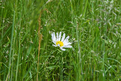 Daisy flower alone between grasses Royalty Free Stock Photos