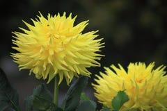 Daisy Flower amarilla imagenes de archivo