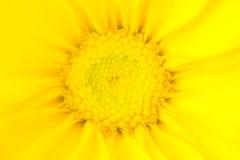 Daisy Flower amarilla que brilla intensamente Foto de archivo libre de regalías