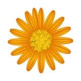 Daisy Flower arancio su un fondo bianco Fotografia Stock Libera da Diritti