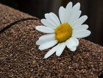 Daisy flower on asphalt shingles Royalty Free Stock Image