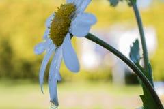 Daisy Flower avec la baisse Photo stock