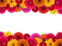 Daisy flower background Royalty Free Stock Image