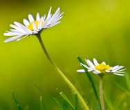 Daisy flower background. Large image of daisy flower Royalty Free Stock Photography