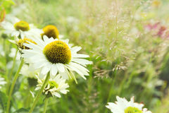 Daisy flower background. Daisy flower blur spring background Royalty Free Stock Images