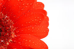 Daisy flower background, red flower background Stock Photos
