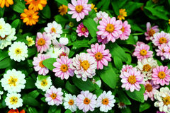 Daisy Flower background texture beautiful pink and white color in garden Stock Image