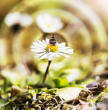 Daisy flower with balanced stones. Royalty Free Stock Photography