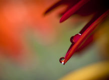 Daisy flower with beautiful drops Stock Image