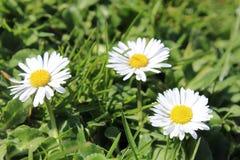 Daisy Flower. 3 beautiful Daisy's Stock Image