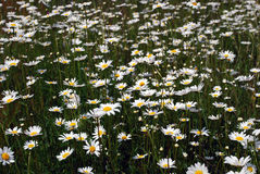 Daisy flower bed Stock Photography
