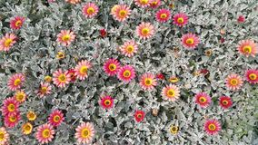 Daisy Flower Bed. Daisies in flower bed with pink yellow and orange flowers with grey leaves and stems stock photos