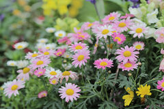 Daisy flower bed at nature Stock Photography