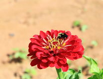 Red Daisy Flower Bee Royalty Free Stock Photos