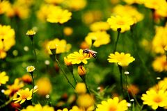 Daisy flower. Yellow daisy and bee in the garden Royalty Free Stock Images