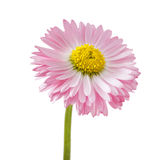 Daisy flower. (Bellis Perennial), isolated on white Royalty Free Stock Images