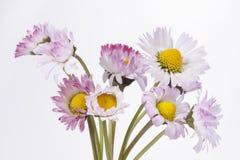 Daisy flower. Bellis perennis, common daisy, lawn daisy Stock Image