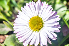 Daisy flower (Bellis perennis) early spring closeup Royalty Free Stock Photo