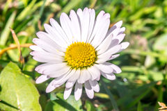 Daisy flower (Bellis perennis) early spring macro Royalty Free Stock Photos