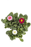 Daisy flower, Bellis Perennis Royalty Free Stock Photos