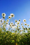 Daisy flower from below with blue sky. In summer Royalty Free Stock Photos