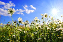 Daisy flower from below with blue sky Stock Photography